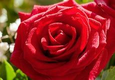Röd rosblomma med droppar Royaltyfria Bilder