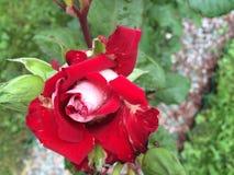 Röd rosblomma med vita delar Royaltyfri Foto
