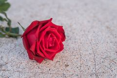 Röd rosblomma på stengolv i valentin dag Royaltyfri Fotografi