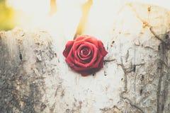 Röd rosblomma på trädträ i valentin dag Arkivbild