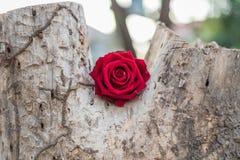 Röd rosblomma på trädträ i valentin dag Royaltyfri Foto