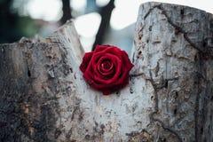 Röd rosblomma på trädträ i valentin dag Royaltyfri Bild