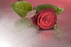 Röd rosblomma som ligger på våt yttersida Royaltyfria Bilder