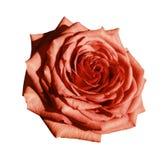 Röd rosblommavit isolerade bakgrund med den snabba banan Closeup inga skuggor Royaltyfri Fotografi