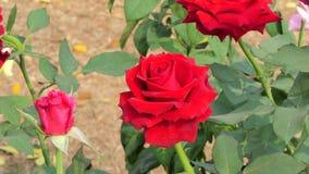 Röd rosblomning i blommafält arkivfilmer