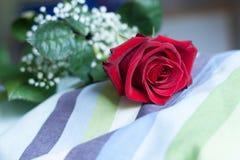 Röd rosblomning, med närbild på kronblad som lägger på en randig kudde Royaltyfri Fotografi