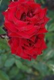 Röd rose3 Royaltyfri Fotografi