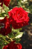Röd rose2 Royaltyfri Fotografi
