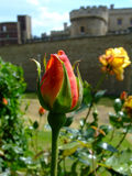 röd rosebud Royaltyfri Bild