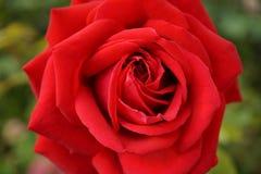 Röd rosewithgräsplan Fotografering för Bildbyråer