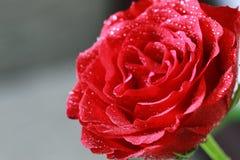 Röd rosknoppcloseup Arkivfoto