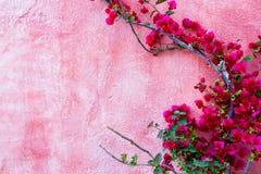 Röd rosväxt mot rosa väggbakgrund royaltyfri bild