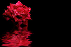 Röd rosvattenreflexion Royaltyfri Foto