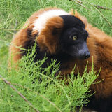 Röd Ruffed Lemur, Varecia Rubra Arkivbilder
