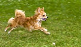 röd running för chihuahuaflamma Royaltyfri Bild