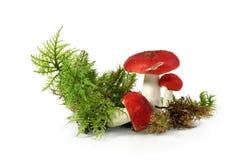 Röd russulachampinjon - (Russulaemeticaen) Royaltyfria Bilder
