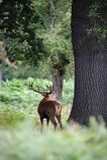röd ryta brunstig säsongfullvuxen hankronhjort för hjortar Royaltyfri Foto