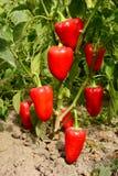 Röd söt peppar som planterar i trädgården Växa som skördar röda spanska peppar royaltyfria bilder