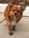 röd SAD standing för hund royaltyfri fotografi