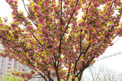 Röd sakura blomma på ett litet träd Royaltyfri Bild