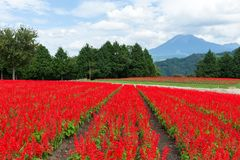 Röd Salvia lantgård och berg Royaltyfri Fotografi