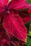 röd sammet fotografering för bildbyråer