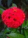 Röd sammet som den härliga blomman royaltyfri foto