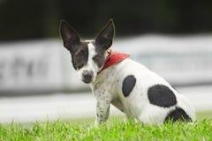 röd scarfsitting för hund Arkivbild