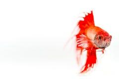 Röd Siamese stridighetfisk på vit bakgrund Fotografering för Bildbyråer