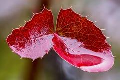Röd sidaMahonia Royaltyfria Bilder