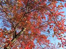 Röd sidanedgånglövverk i November Arkivbild