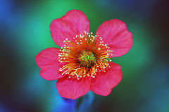 Röd Sieversia blomma Royaltyfria Bilder