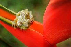 Röd-simhudsförsedd trädgroda, Hypsiboas rufitelus, djur med stora ögon, i naturlivsmiljön, Panama Groda från Panama Härlig groda  Arkivbilder