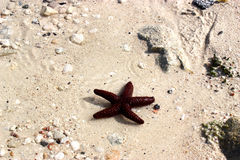 röd sjöstjärna Arkivfoto