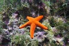 röd sjöstjärna Royaltyfria Foton