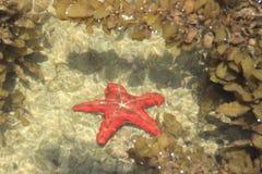 röd sjöstjärna Indiska oceanenkust, Diani strand, Kenya fotografering för bildbyråer