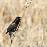 röd sjungande vinge för blackbird Royaltyfri Foto