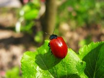 Röd skalbagge för kryp på äpplet - grönt bladslut upp royaltyfri fotografi