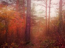 Röd skog i dimma, höstsäsong och död natur Royaltyfria Bilder