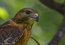 Röd skuldra Hawk Portrait Fotografering för Bildbyråer