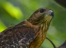 Röd skuldra Hawk Portrait Arkivfoto