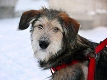 Röd släde för taxhund på snö royaltyfri bild