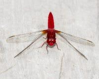 Röd slända Arkivfoto