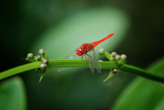 Röd slända Royaltyfri Fotografi