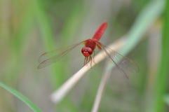 Röd slända Arkivfoton