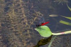 Röd slända Fotografering för Bildbyråer