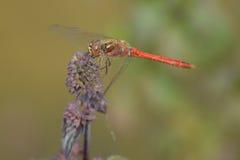 Röd slända Royaltyfria Bilder