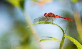 Röd slända för blod på grönt gräs fotografering för bildbyråer