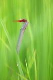 Röd slända i gräs fotografering för bildbyråer