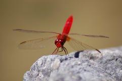 Röd slända i närbild/makro royaltyfri foto